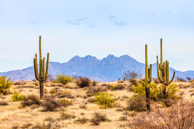 Saguaro cacti in the desert with mountains in the distance near Phoenix, Arizona