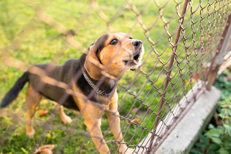 A small puppy barking behind a chainlink fence