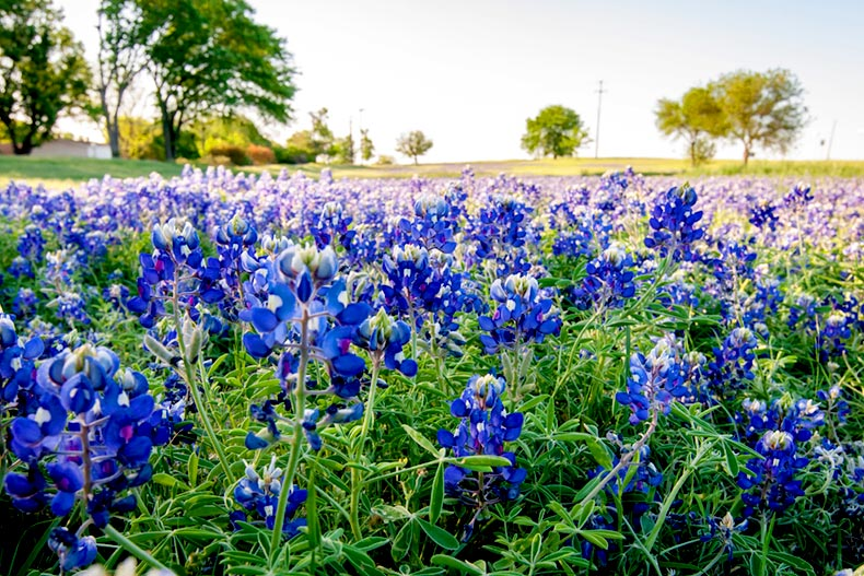 Field of bluebonnets and wildflowers in Fort Worth, Texas.