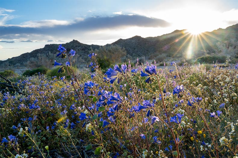 A sunrise view of Canterbury Bells in Joshua Tree National Park during California's super bloom