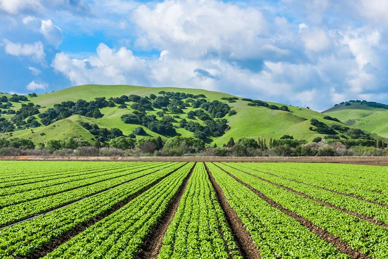 Rows of lettuce crops in the fields of Salinas Valley in Central California