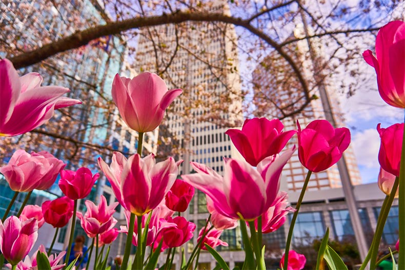 Blooming pink flowers with Downtown Charlotte, North Carolina in the background