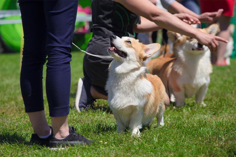 A line of corgis at an outdoor dog show
