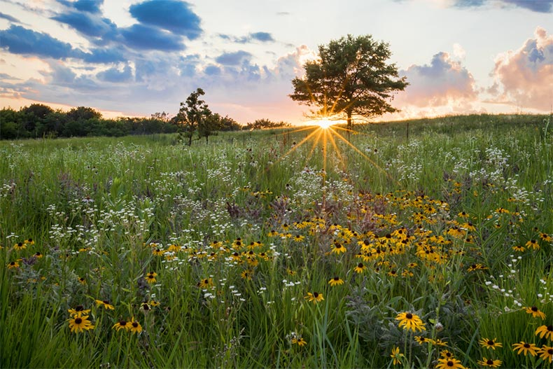 White and yellow flowers across a prairie at sunset in Elgin, Illinois