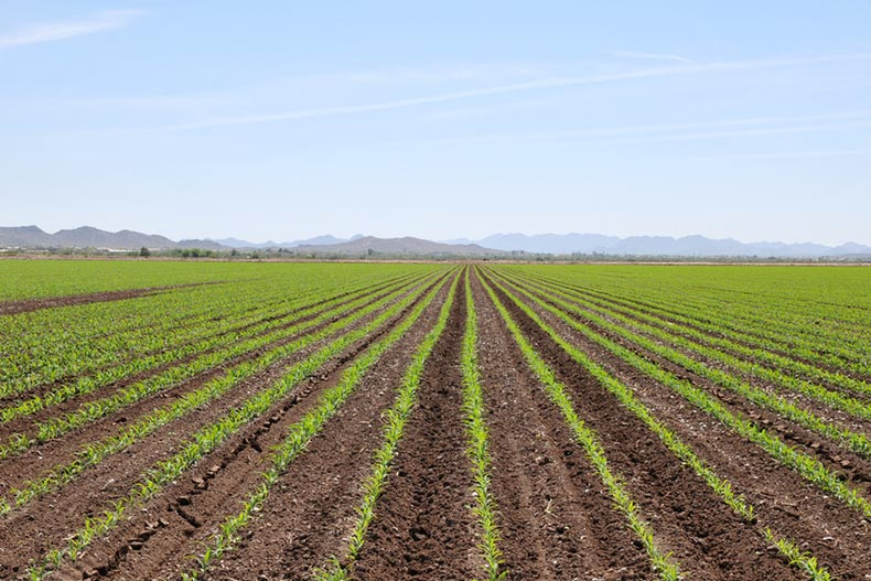 Perfectly straight rows of crops in a farm field in Goodyear, Arizona