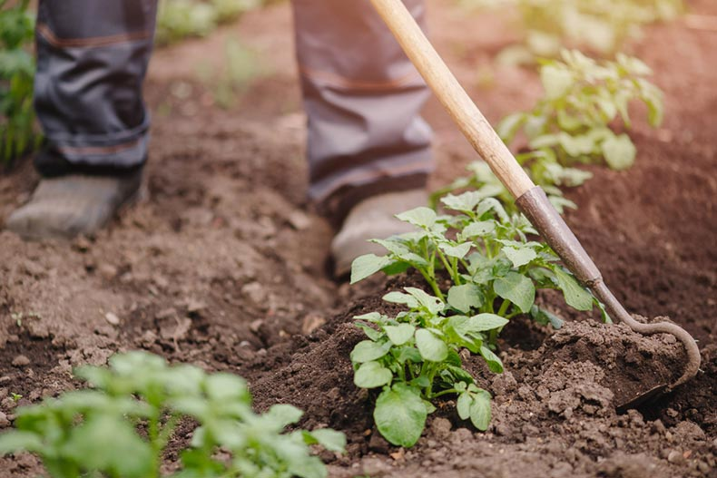 Closeup on the feet of a gardener using a hoe to till the soil near a row of plants