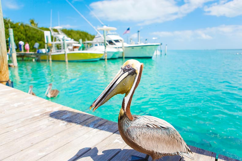 A large water bird on a dock on Islamorada key