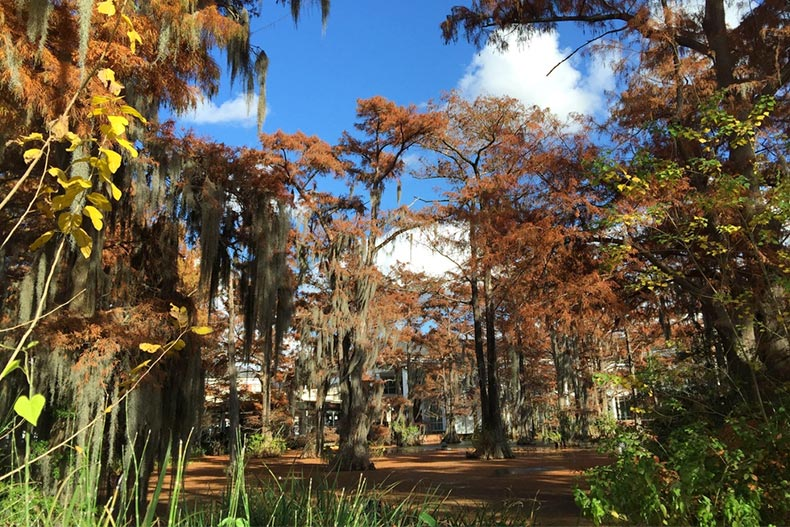 Trees with Spanish Moss at Cypress Lake in Lafayette, Louisiana