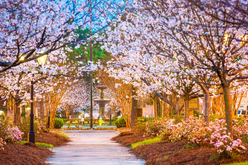 Blossoming trees lining the downtown square in Macon, Georgia in spring