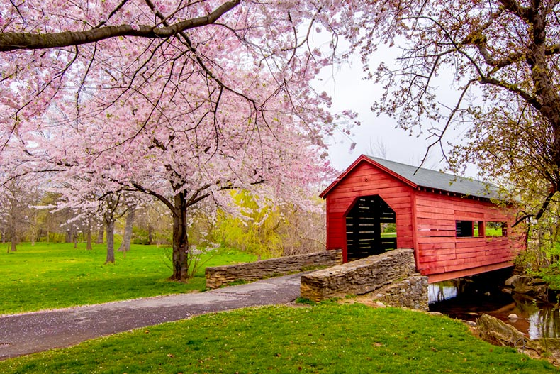 Cherry blossom trees surrounding a red covered bridge in Frederick, Maryland