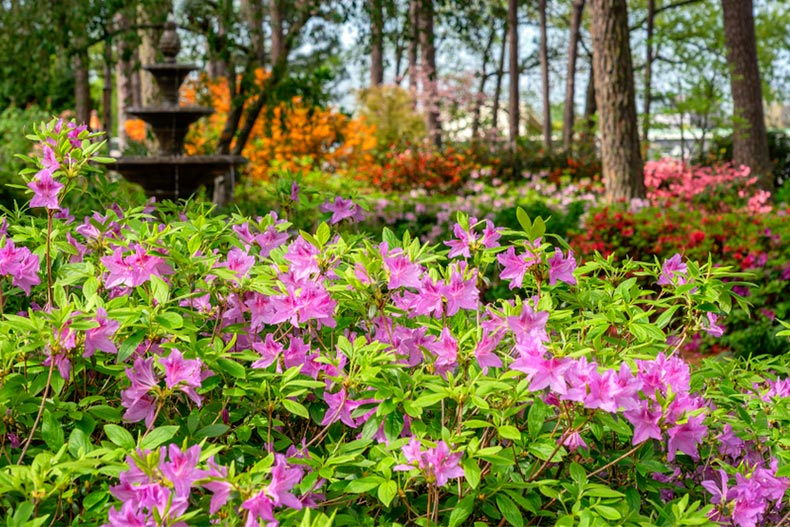 Purple flowers at the Azalea and Flower Garden in Raleigh, North Carolina
