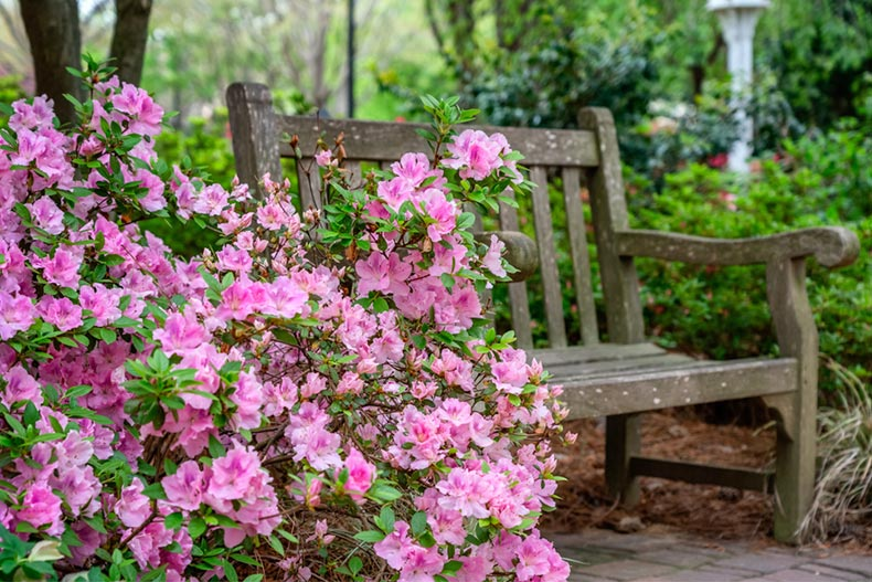 Azaleas near a bench in a flower garden in Raleigh, North Carolina