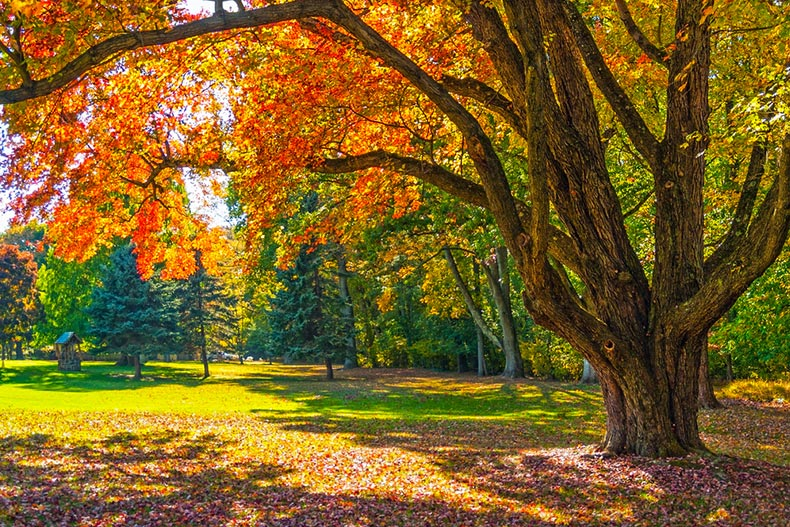 A tree with fall colors in a park in Bucks County, Pennsylvania
