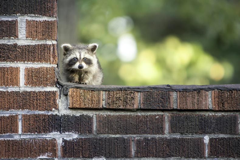 A baby raccoon on a brick wall