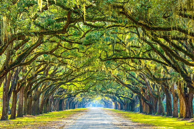 Oak trees forming a canopy over a dirt path in Savannah, GA