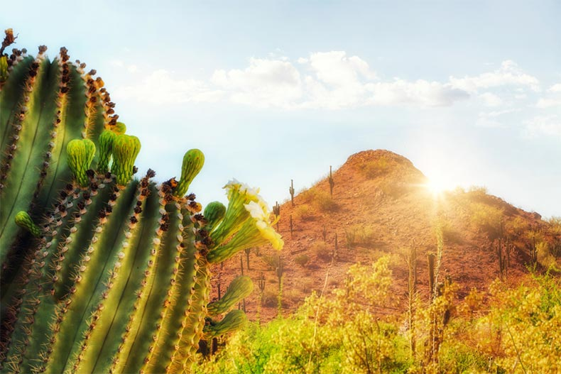 Closeup on a blooming saguaro cactus in Phoenix, Arizona with a mountain in the background