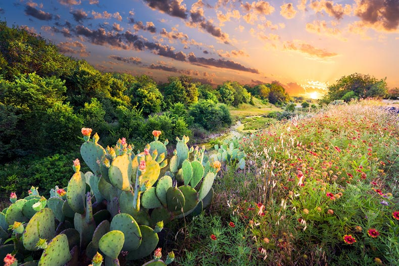 Sunset view of flowering cactus and Indian blanket wildflowers in Texas