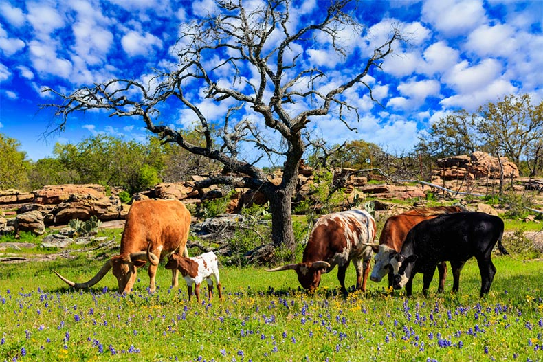 Cattle grazing in a bluebonnet field on a ranch in the Texas Hill Country