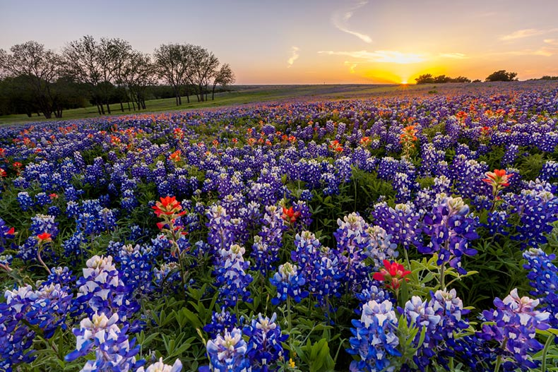 A field of Texas wildflowers at sunset