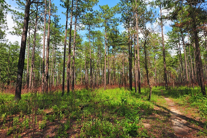 The Bartram walking trail of the Tuskegee Nation Forest in Alabama
