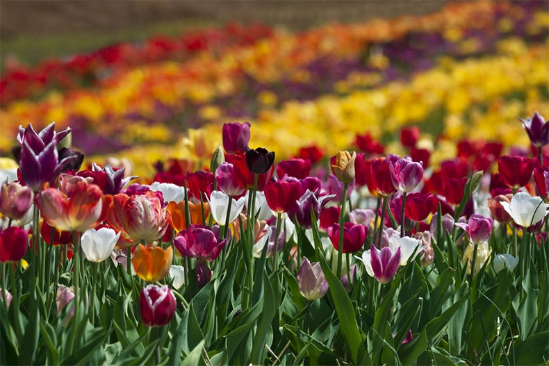 A field of colorful tulips in Haymarket, Virginia
