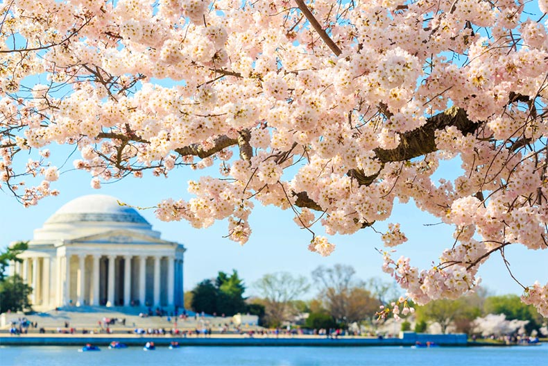 Close up of a cherry blossom tree with Jefferson Memorial as a backdrop