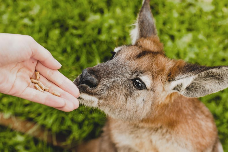 A hand offering food to a wallaby at a wildlife park